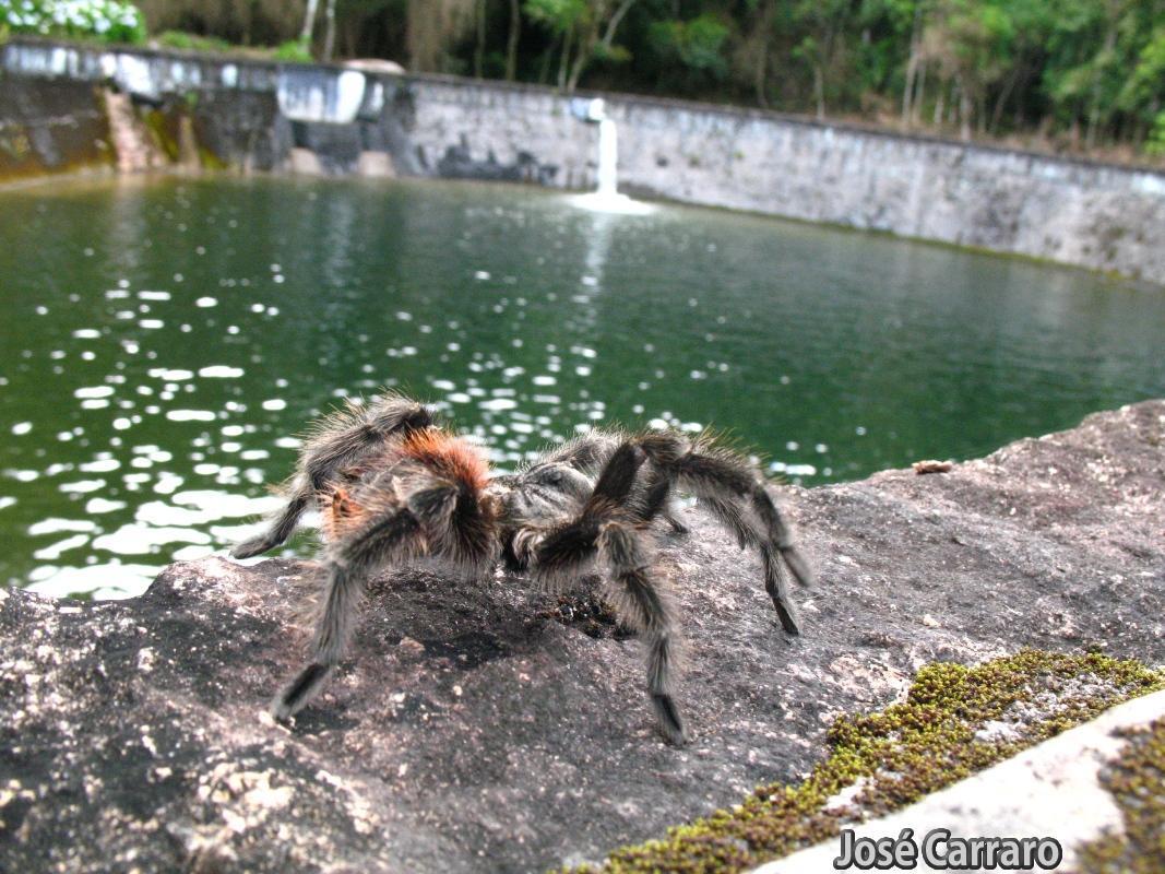 ['Aranha Caranguejeira (Theraphosidae) ]