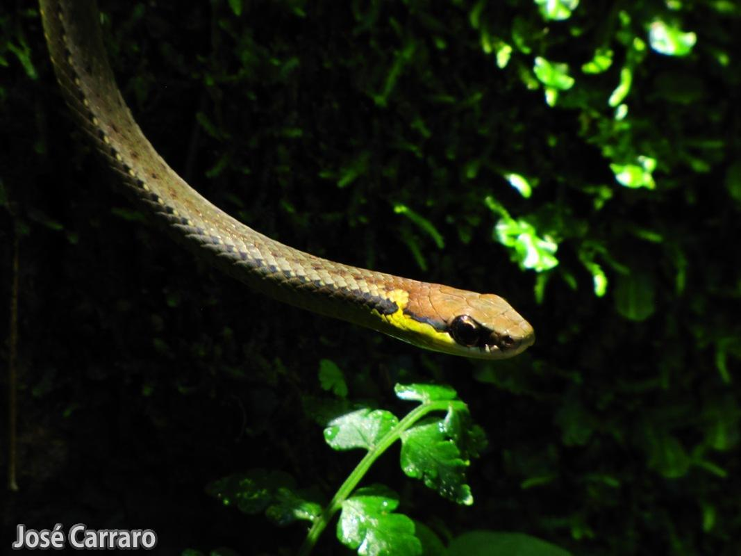 ['Cobra Cipó Verde (Chironius bicarinatus)]