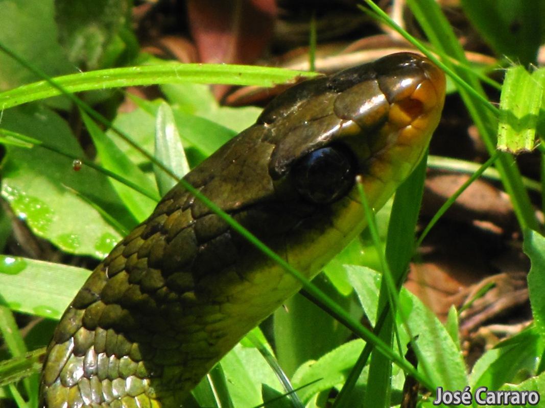 ['Cobra Cipó Verde (Chironius bicarinatus)]