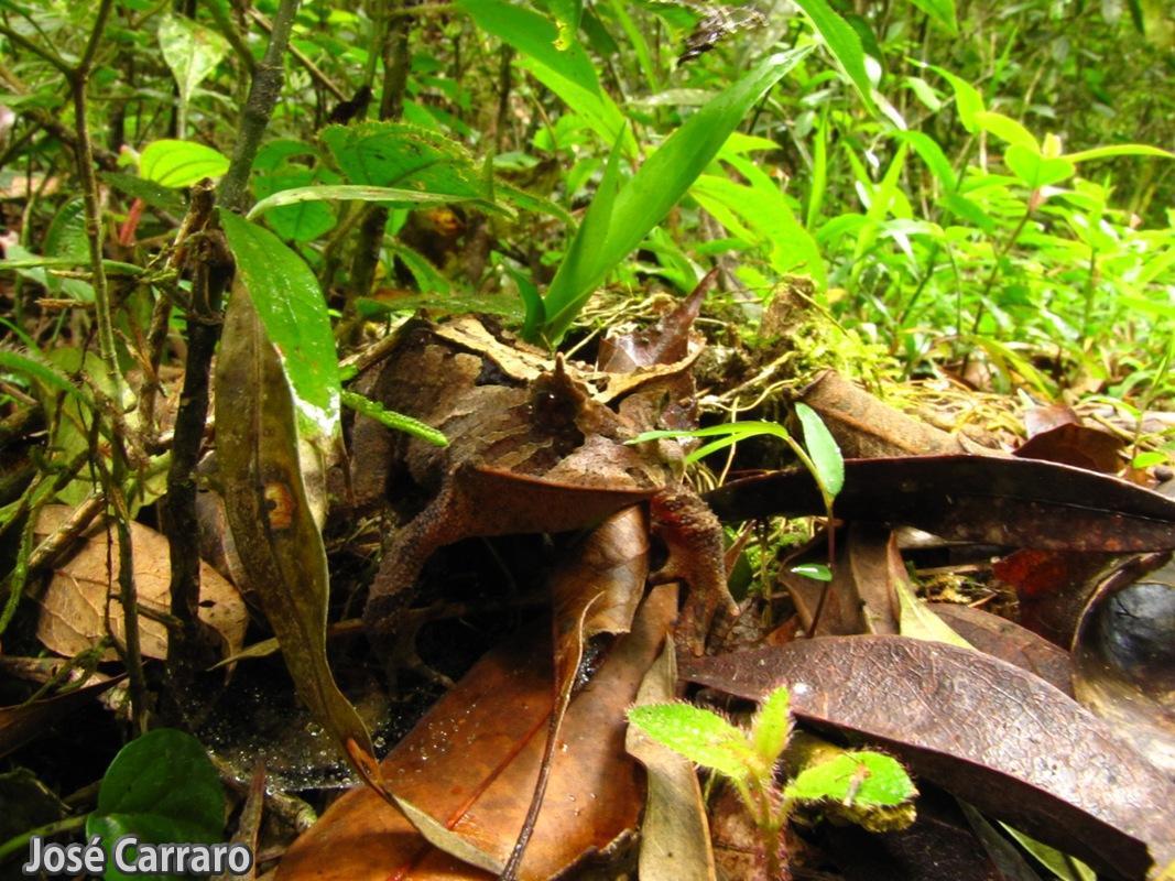 ['Sapo de Chifres (Proceratophrys boiei)]